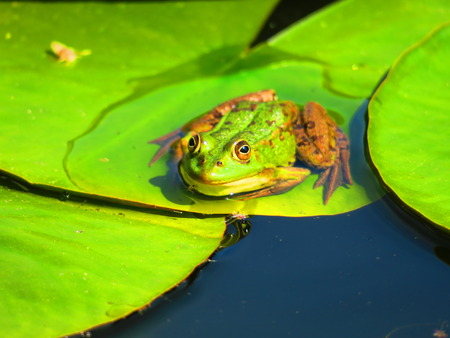 Frog on lily pad Stok Fotoğraf