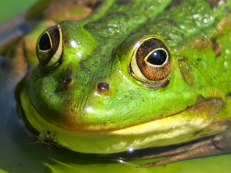 Close-up of head frog