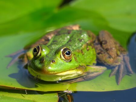 frog on lily pad: Frog on lily pad Stock Photo