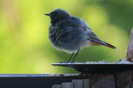 Black Redstart Jungvogel