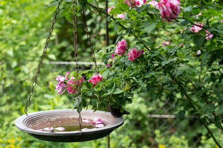 Hanging bird bath on chains in green leafs and pink roses with petals in water and blurred background.