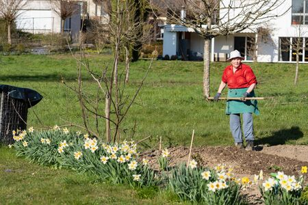 Older gardener woman with red green dress and whit hat looking to camera with rake in her hands. Green meadow and white daffodils in Swiss garden