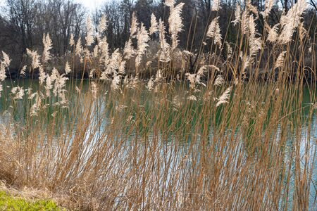 Reed in sunlight at riverside.. grass, natural, reed, rural, landscape, lake, nature, river, brown,