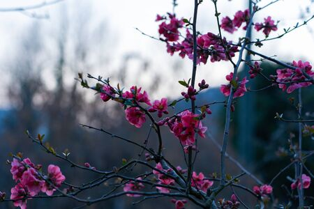 Pink flowers of a quince on a branch with thorns in the foreground in the evening mood with a blurry gray background.