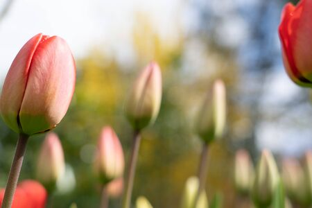 Red and yellow tulips in different life stage of blossoming at sunny spring day with blue cloudy sky at background. Focus on foreground, close-up, selective focus, low angle view.