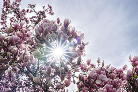 Sun between branches of Magnolia blossom with white sky as background. Place for text.