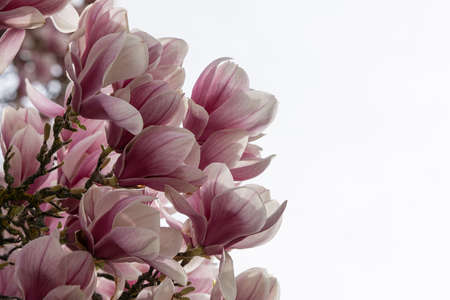 Close up of branch of Magnolia blossom with white sky as background. Place for text.