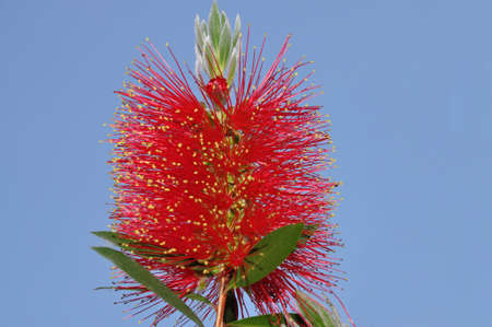callistemon: Flower of Callistemon citrinus