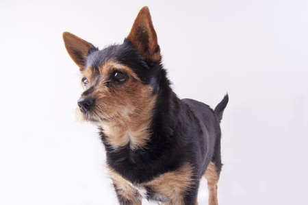 pincher: Molly the dog, mongrel, chiwawa, dwarf pincher, brown and black colors, big eyes
