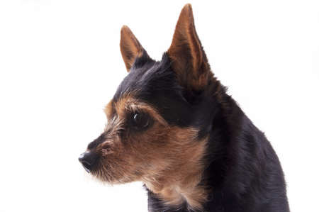molly: Molly the dog, mongrel, chiwawa, dwarf pincher, brown and black colors, big eyes
