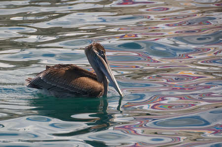 Pelican on reflections of the Caribbean Sea - Fort de France - Martinique