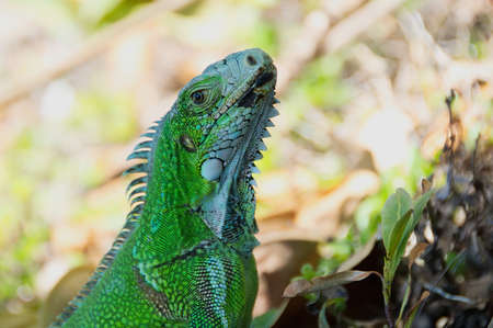 photographies: Close up of green Iguana of the Caribbean - Le Gosier - Guadeloupe Antilles island