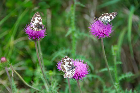 stephen: Colorful butterfly on the thistle flower in Val dAveto natural park - Liguria - Italy