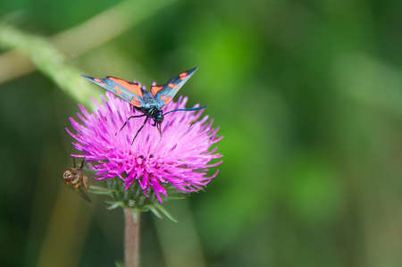 lonicerae: Colorful butterfly (Zigenoidei - Zygaena lonicerae) on the thistle flower in the Val dAveto natural park - Liguria - Italy Stock Photo