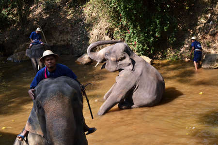 Thailand / Chiangmai - January 20, 2020: Maesa Elephant Camp. A bath in the river.
