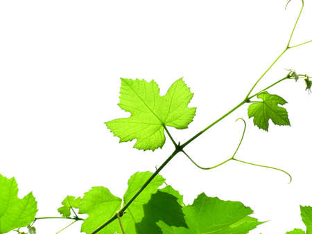 Vine leaves grapevine Stock Photo
