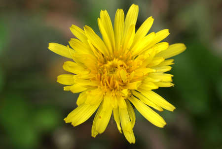 chicory flower: Yellow chicory flower or bloom