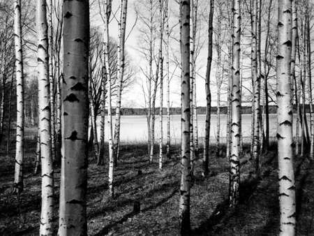 Finnish forest of birch trees