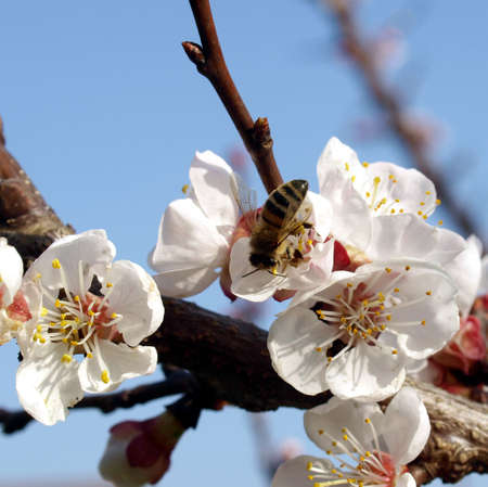 floreal: Detail view of a peach tree flower, with bee fetching nectar