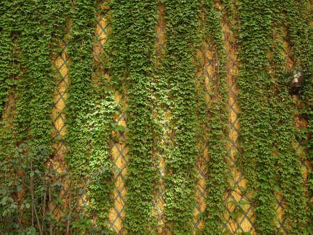 wall ivy: Verde hiedra pared �til como fondo