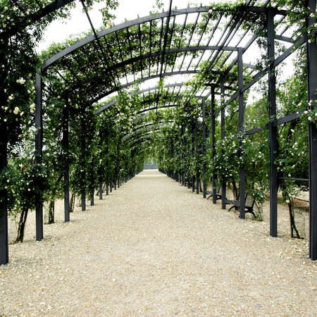 Shaded path under garden pergola of white wild roses photo