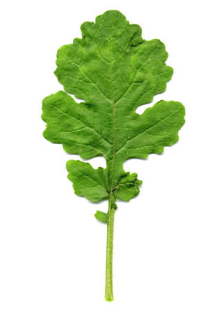 mustard: Edible leaf of Mustard plant isolated over white background Stock Photo