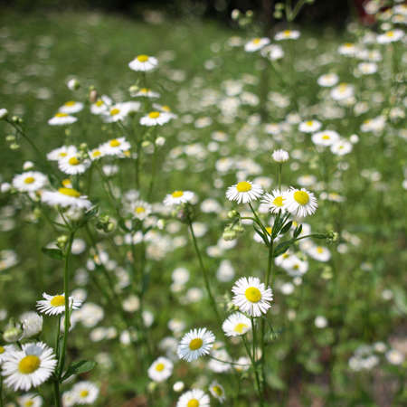 floreal: Detail of daisy flower or bellis perennis - selective focus