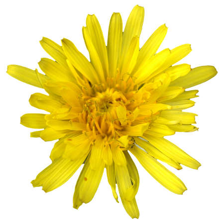 chicory flower: Yellow chicory flower isolated over white background