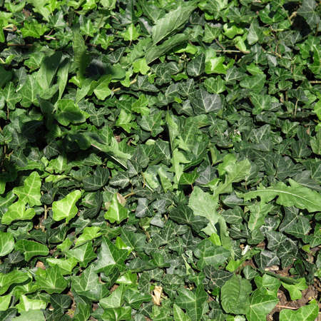 trailing: Green ivy plants useful as a background
