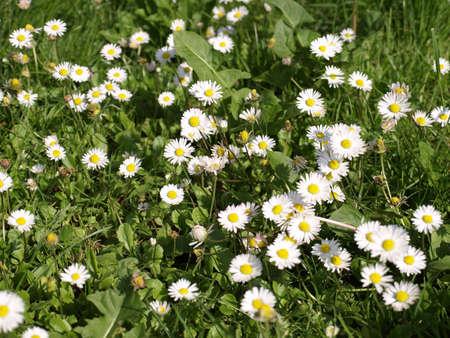 floreal: Detail of daisy flower or bellis perennis