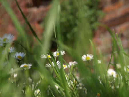 floreal: Detail of daisy or bellis perennis, with selective focus on flowers and blurred grass