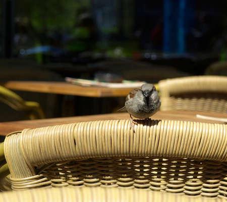 ruise�or: Com�n Nightingale Luscinia megarhynchos ave paseriforme Rufo