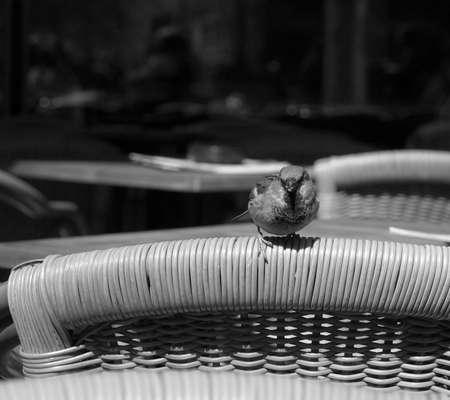 passerine: Comune Nightingale Linnaeus megarhynchos rufous piccolo passeriforme