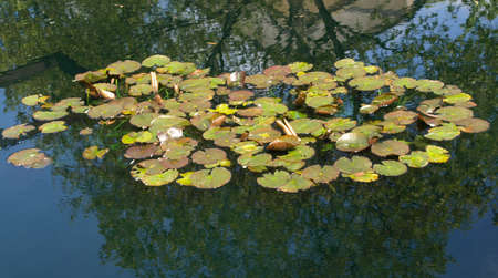 nymphaeaceae: Water Lily (Nymphaeaceae) in a pond of water