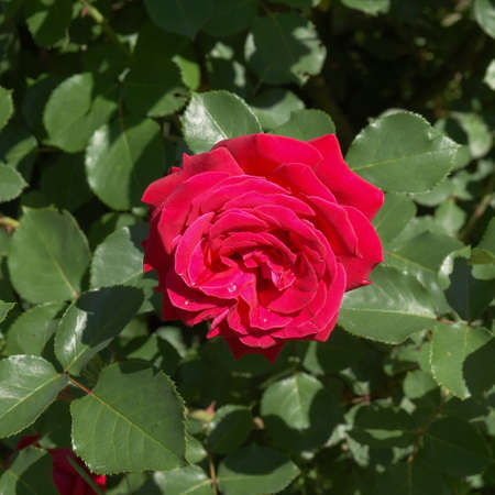 perennial: A Rose - perennial flower shrub vine of genus Rosa Rosaceae Stock Photo