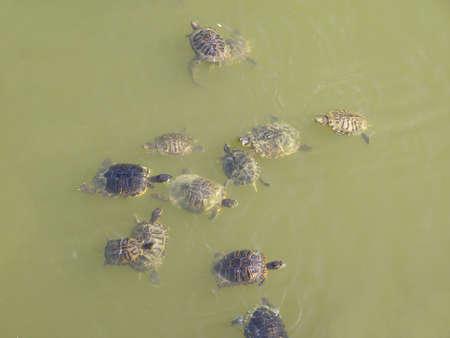 chordata: Turtle terrapin tortoise- Animalia Chordata Vertebrata Reptilia Testudines Stock Photo