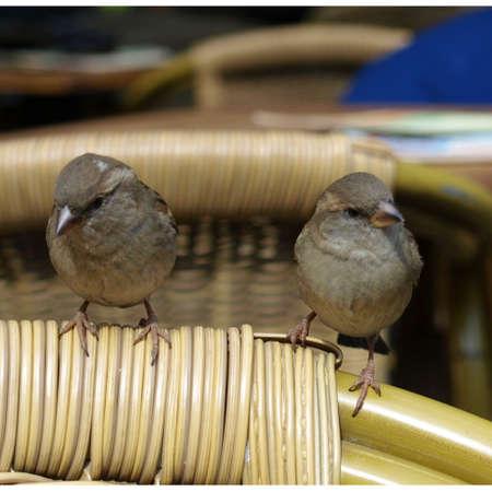 bird nightingale: Common Nightingale Luscinia megarhynchos Rufous small passerine bird Stock Photo