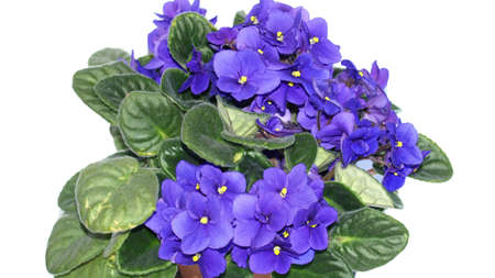 lamiales: Saintpaulia African Violet house plant flower (plantae angiosperms eudicots asterids lamiales gesneriaceae saintpaulia) Stock Photo