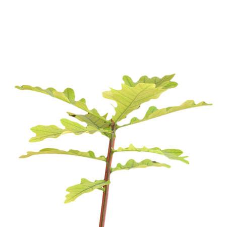 fagaceae: Oak tree Plantae Magnoliophyta Magnoliopsida Fagales Fagaceae Quercus - isolated over white background