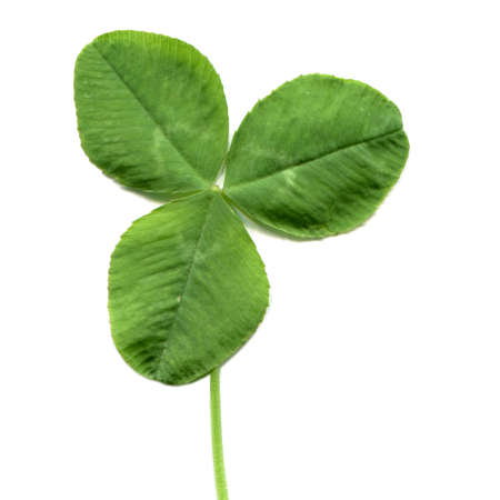 three leafed: Shamrock three leafed old white clover trifolium plant - isolated over white background Stock Photo
