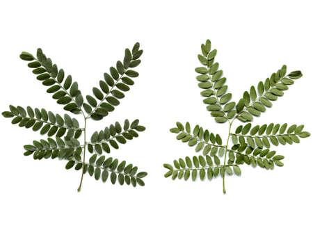 carob: Carob tree leaf - isolated over white background