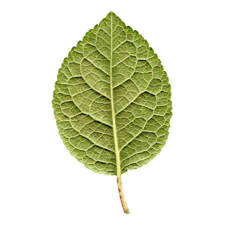 prune: Prune tree leaf - isolated over white background - back side