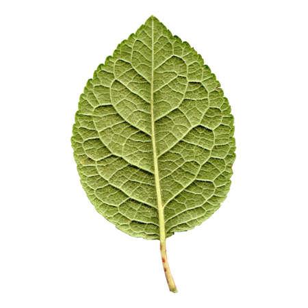 pruneau: Tailler les arbres feuille - isol� sur fond blanc - back c�t�