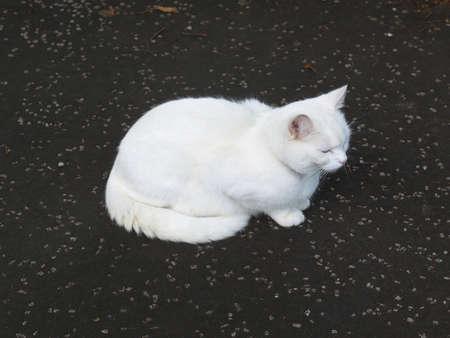 chordata: Cat - Animalia Chordata Mammalia Carnivora Felidae Felis catus