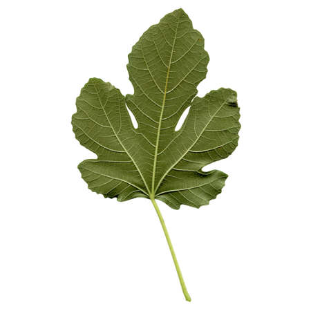 fig: Fig tree leaf - isolated over white background - back side