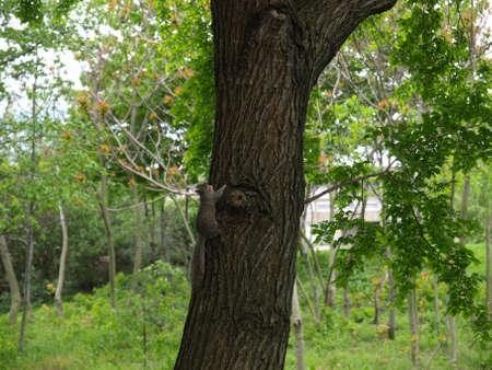 chordata: Squirrel - Animalia Chordata Mammalia Rodentia Sciuromorpha Sciuridae