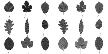 walnut tree: Tree leaves collage - isolated over white background - front and back