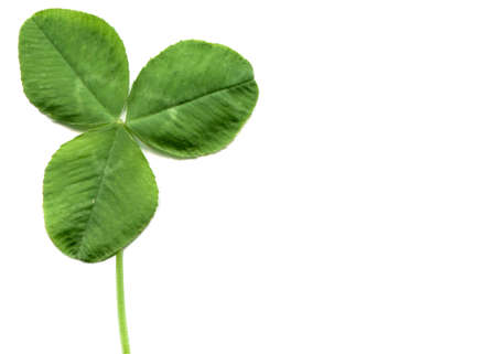 three leafed: Shamrock three leafed clover trifolium plant over a white background with copy space