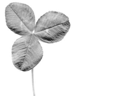 Shamrock three leafed clover trifolium plant over a white background with copy space Stock Photo - 9728614
