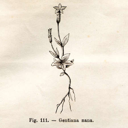nana: Vintage Gentiana Nana flower illustration - from the book Flora Alpina, Turin, Italy, 1891, by Fratelli Roda, now in the public domain Stock Photo